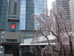 一足先に満開になった、赤坂サカスの枝垂桜
